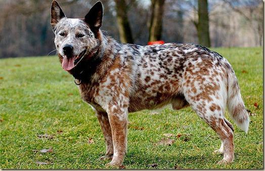 Самая долгоживущая собака