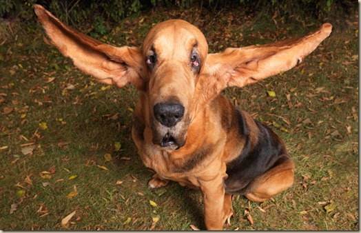Самые длинные уши