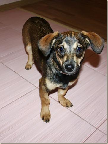 Собака Доминика
