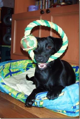Собака Вита дома