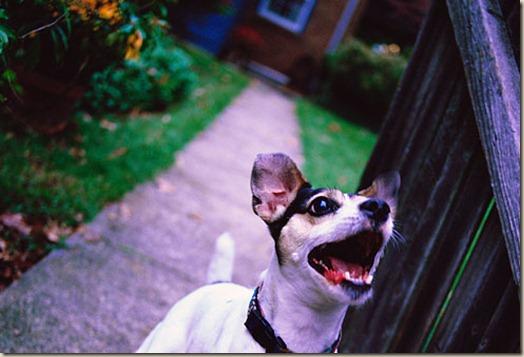 Собака воет или лает