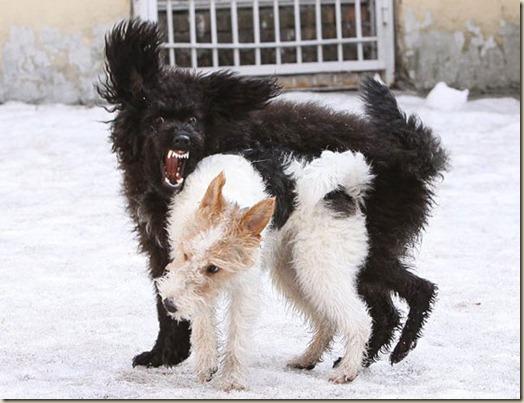 Собака нападает на сородичей