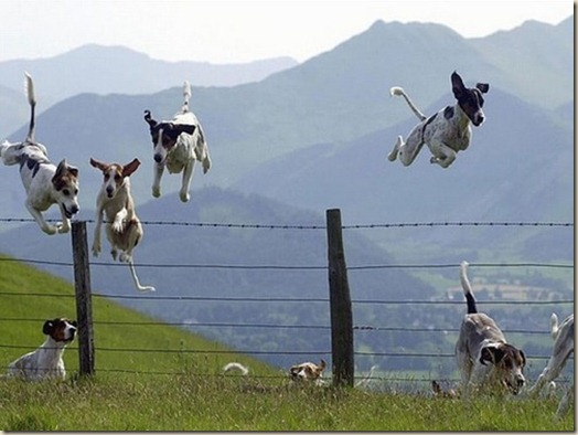Собаки прыгают через забор