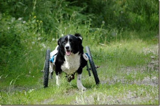 Дик, пес-инвалид из городского приюта