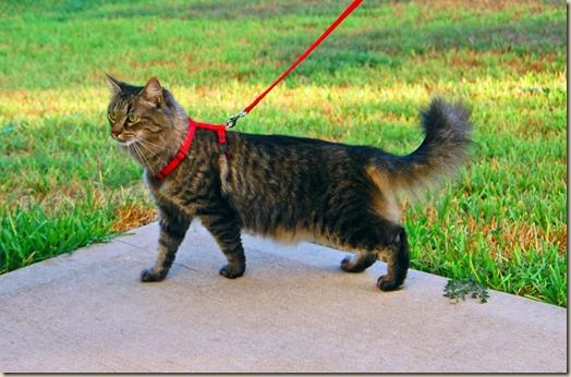 Домашним кошкам не нужны прогулки