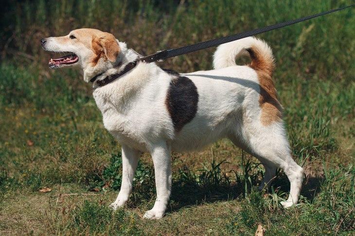 Собака Чапа