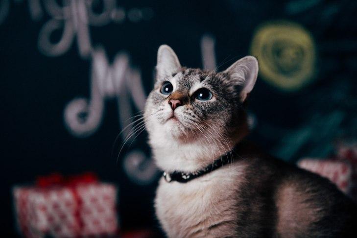 cat_asiya_04
