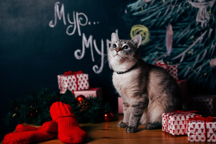 cat_asiya_05