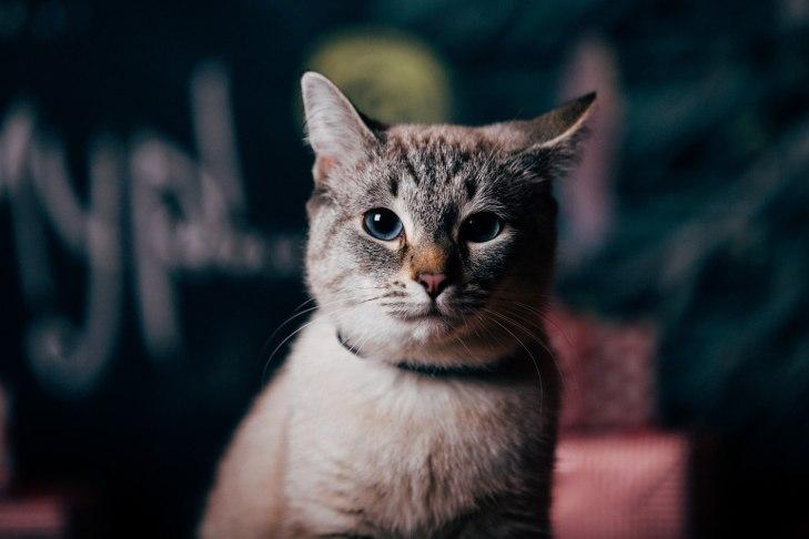 cat_asiya_06