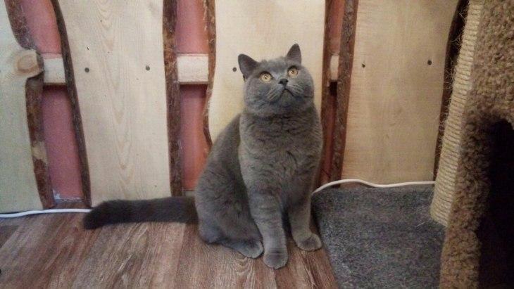 Британская кошка Боня