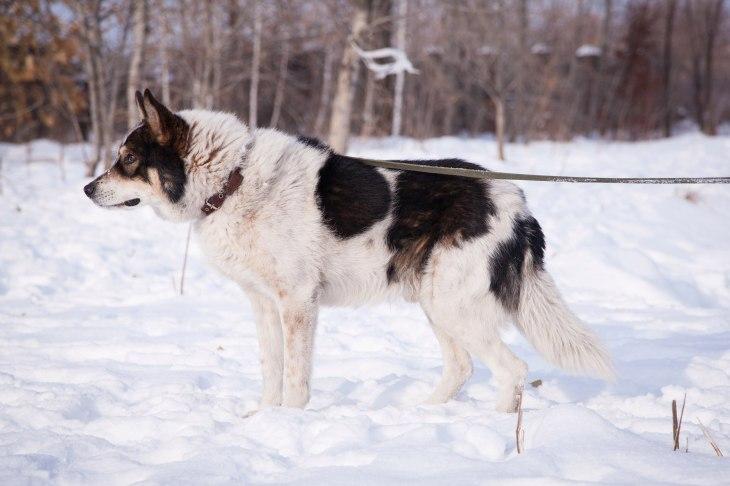 Пёс Барс