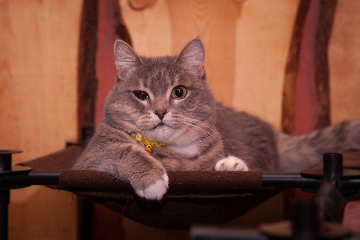 cat_britanka_01