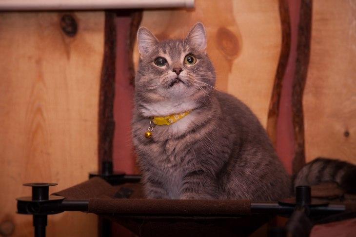 Британская кошка Британка