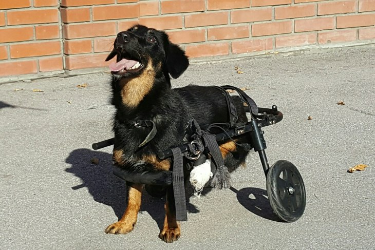 Лапка. Собака инвалид