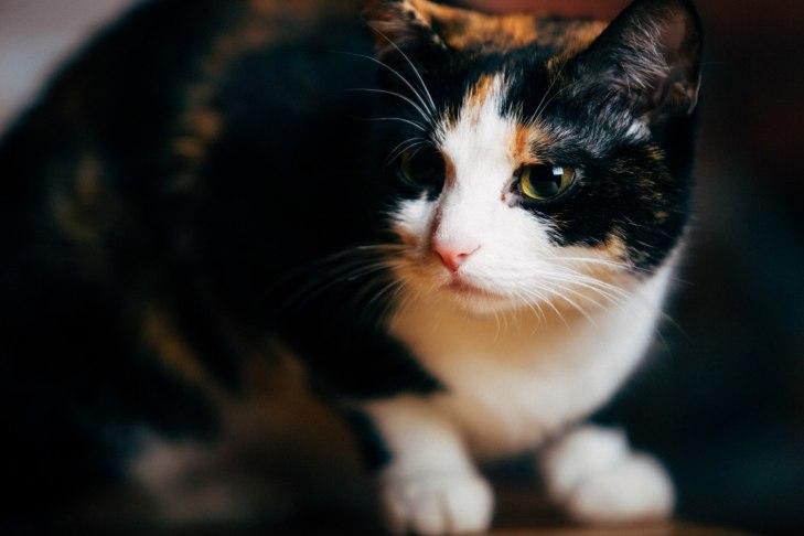 Кошка Криста