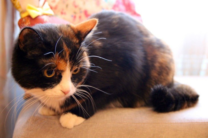 Кошка Сальса