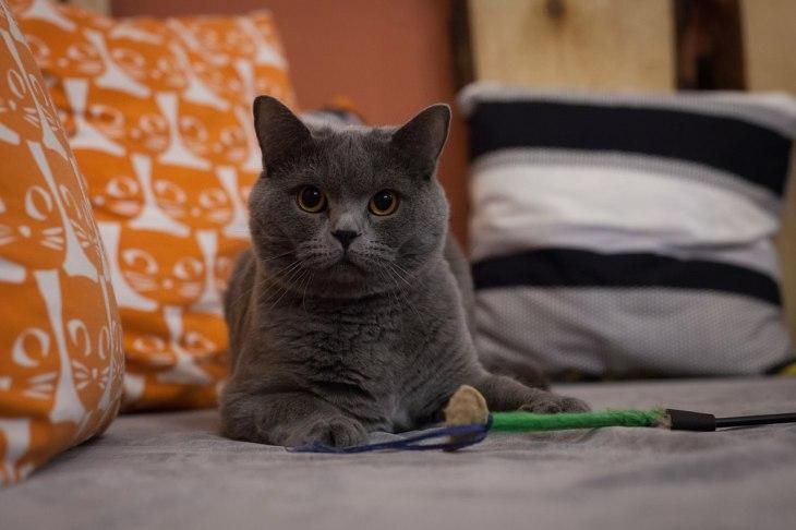 кот Варис