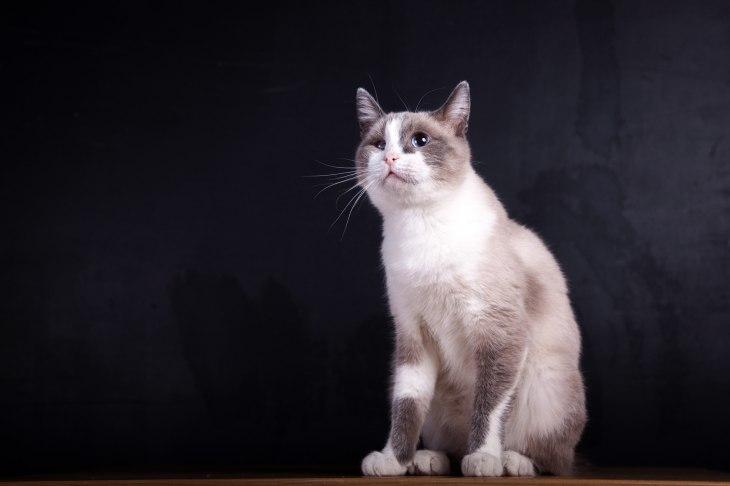 Кошка Пудра