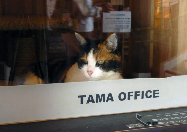Кошка Тама в своём офисе