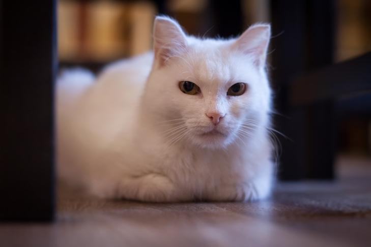 кошка Белка