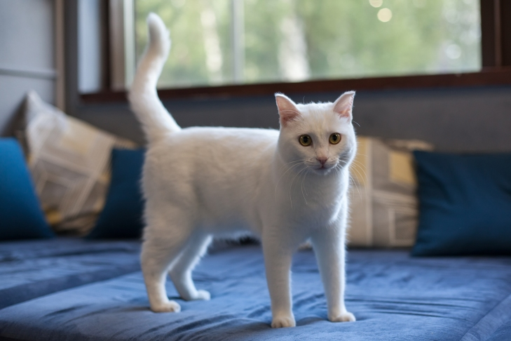 кот Симба