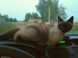 кошка айриш
