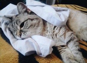 кошка элис