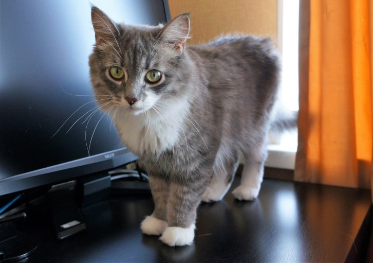 кошка манго