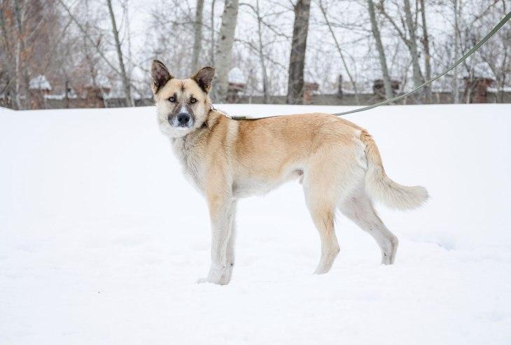 пес тайсон
