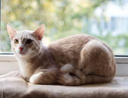 чили кот
