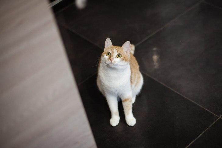 кошка Ассоль